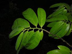 Image of Baboonwood