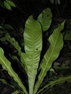 Image of <i>Meliosma donnellsmithii</i> Urb.