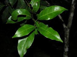 Image of <i>Meliosma grandiflora</i> Morton ex A. H. Gentry
