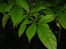 Image of <i>Aegiphila costaricensis</i> Moldenke