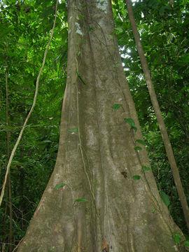 Image of <i>Ampelocera macrocarpa</i> E. Forero & A. H. Gentry