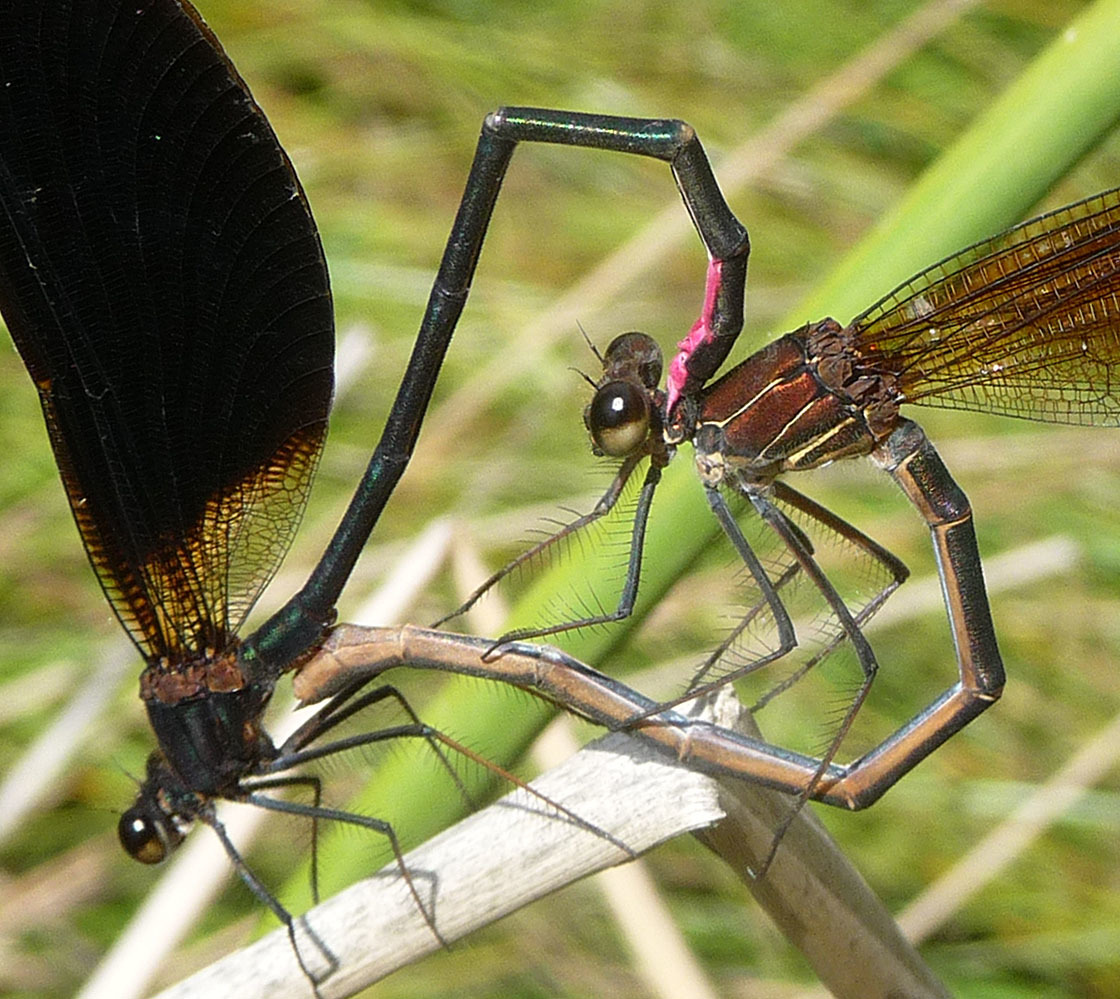Image of Copper Demoiselle