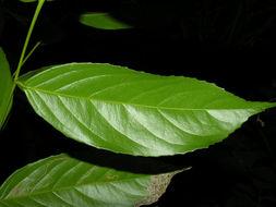 Image of <i>Lecointea amazonica</i> Ducke