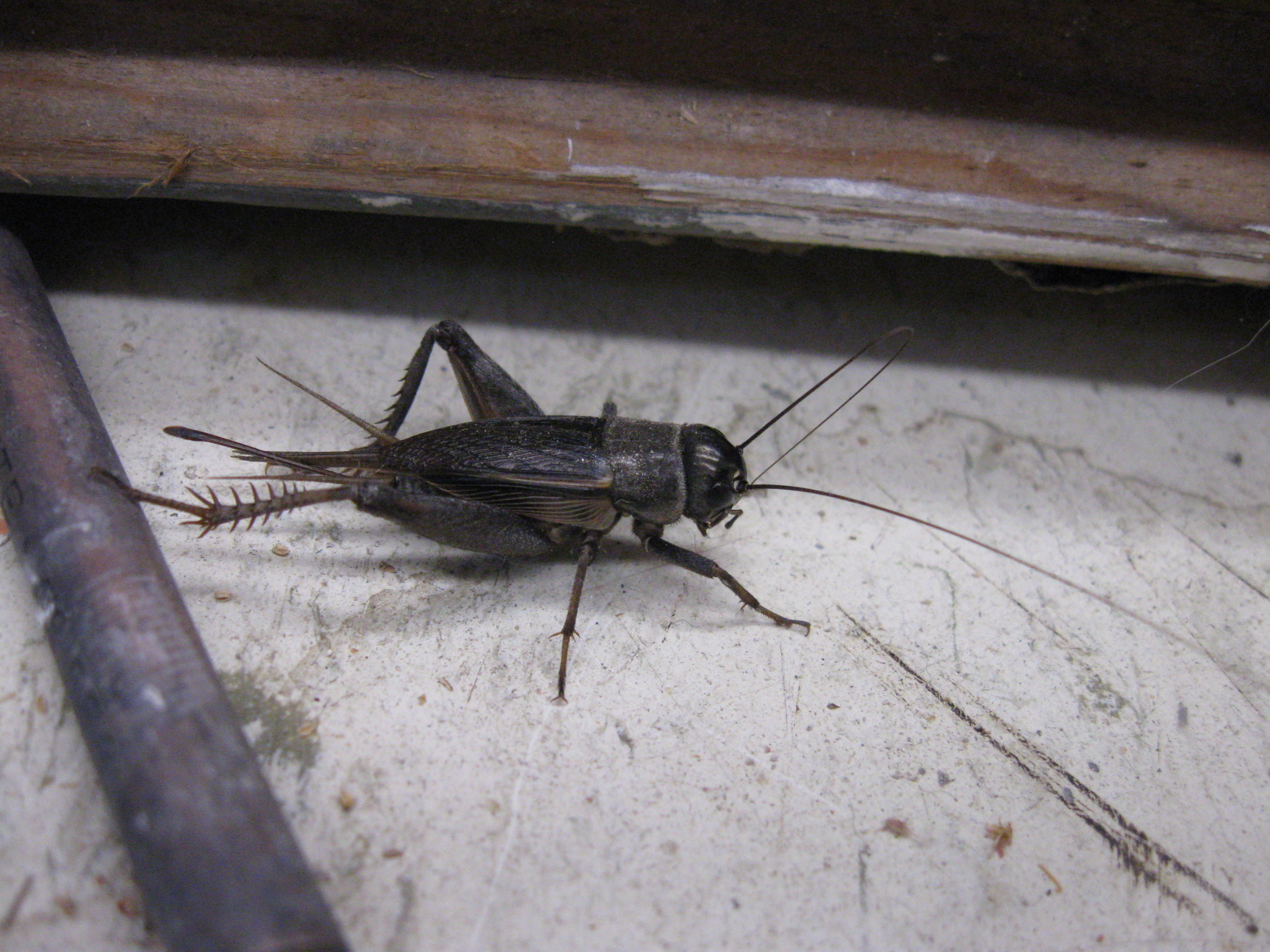 Image of Texas Field Cricket