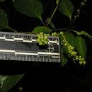 Image of <i>Varronia spinescens</i> (L.) A. Borhidi
