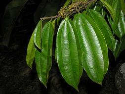 Image of <i>Ziziphus chloroxylon</i> (L.) Oliv.