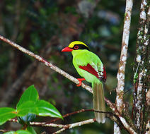 Image of Common Green Magpie