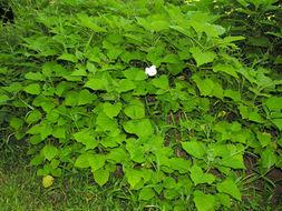 Image of <i>Clerodendrum philippinense</i> Elmer