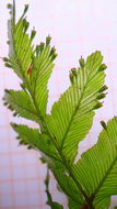 Image of <i>Trichomanes hostmannianum</i> (Kl.) Kunze