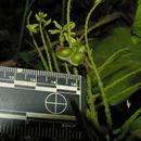 Image of <i>Rhynchosia erythrinoides</i> Schltdl. & Cham.