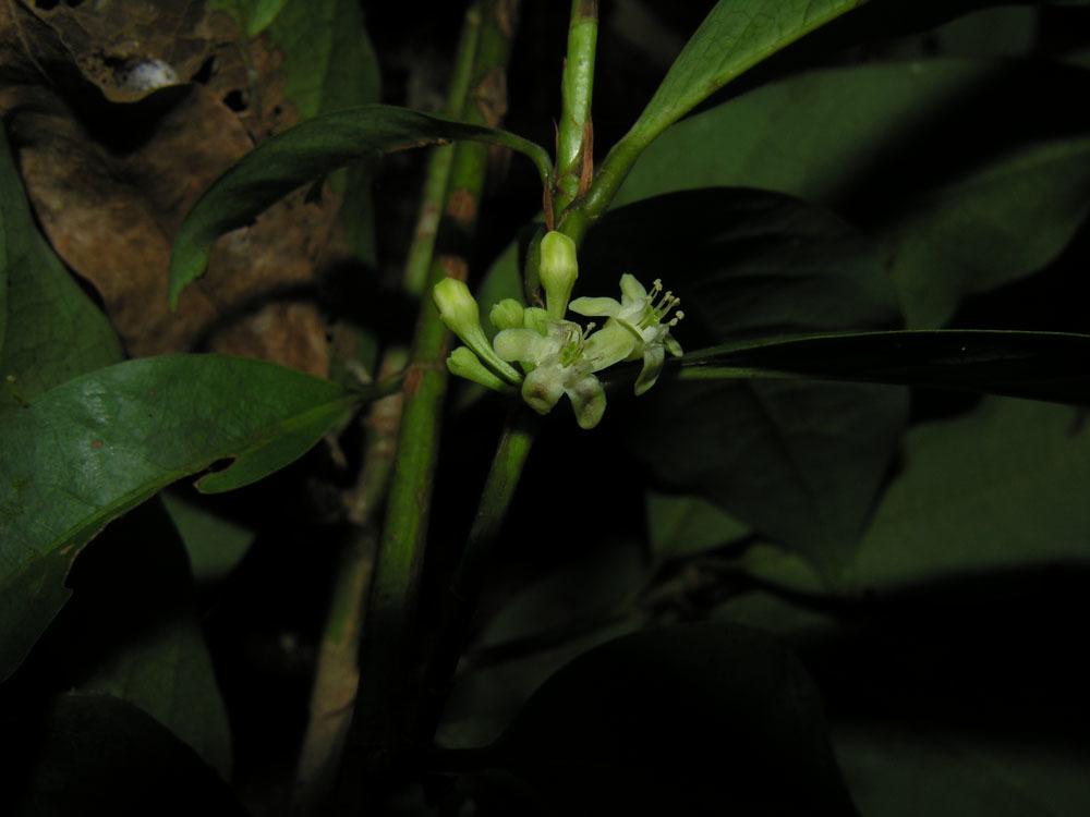 Image of <i>Erythroxylum macrophyllum</i> Cav.