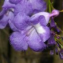 Image of <i>Jacaranda caucana</i> Pittier
