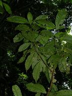 Image of <i>Mayna odorata</i> Aubl.