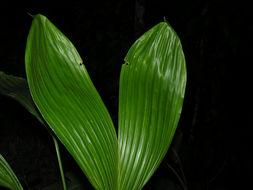 Image of <i>Asplundia utilis</i> (Oerst.) Harling