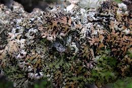 Image of Bitter tube lichen