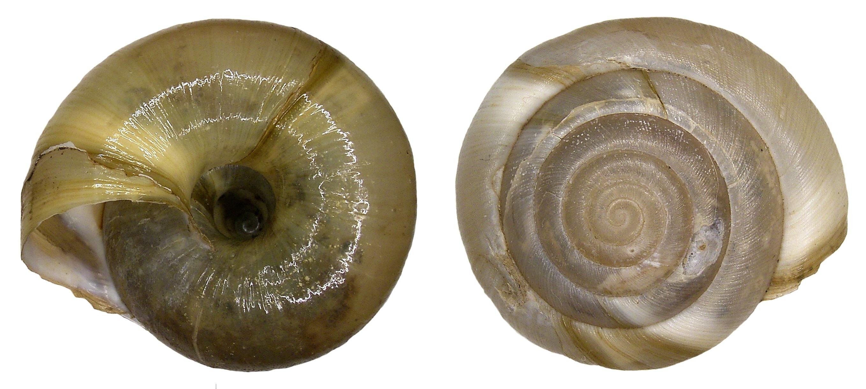 Image of <i>Aegopis verticillus</i> (Lamarck 1822)