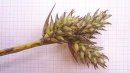 Image of <i>Hohenbergia littoralis</i> L. B. Sm.