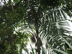 Image of Bamboo Palm