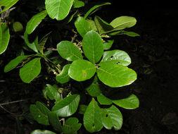 Image of <i>Sloanea obtusifolia</i> (Moric.) K. Schum.