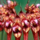 Image of Wispy umbrella orchid