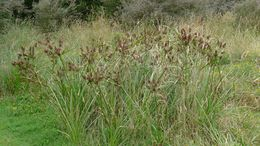 Image of <i>Cyperus lucidus</i> R. Br.