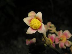 Image of <i>Sloanea garcia-cossioi</i> Pal.-Duque