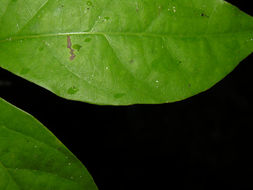 Image of <i>Tynanthus croatianus</i> A. H. Gentry