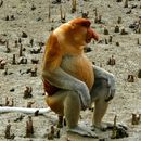Image of proboscis monkey