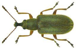 Image of <i>Cimberis attelaboides</i> (Fabricius & J. C. 1787)