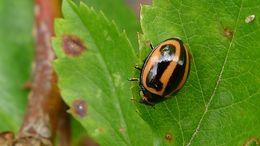 Image of <i>Micraspis frenata</i>