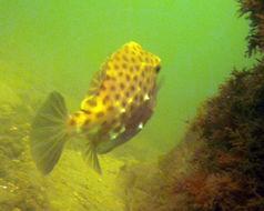 Image of Chubby basketfish