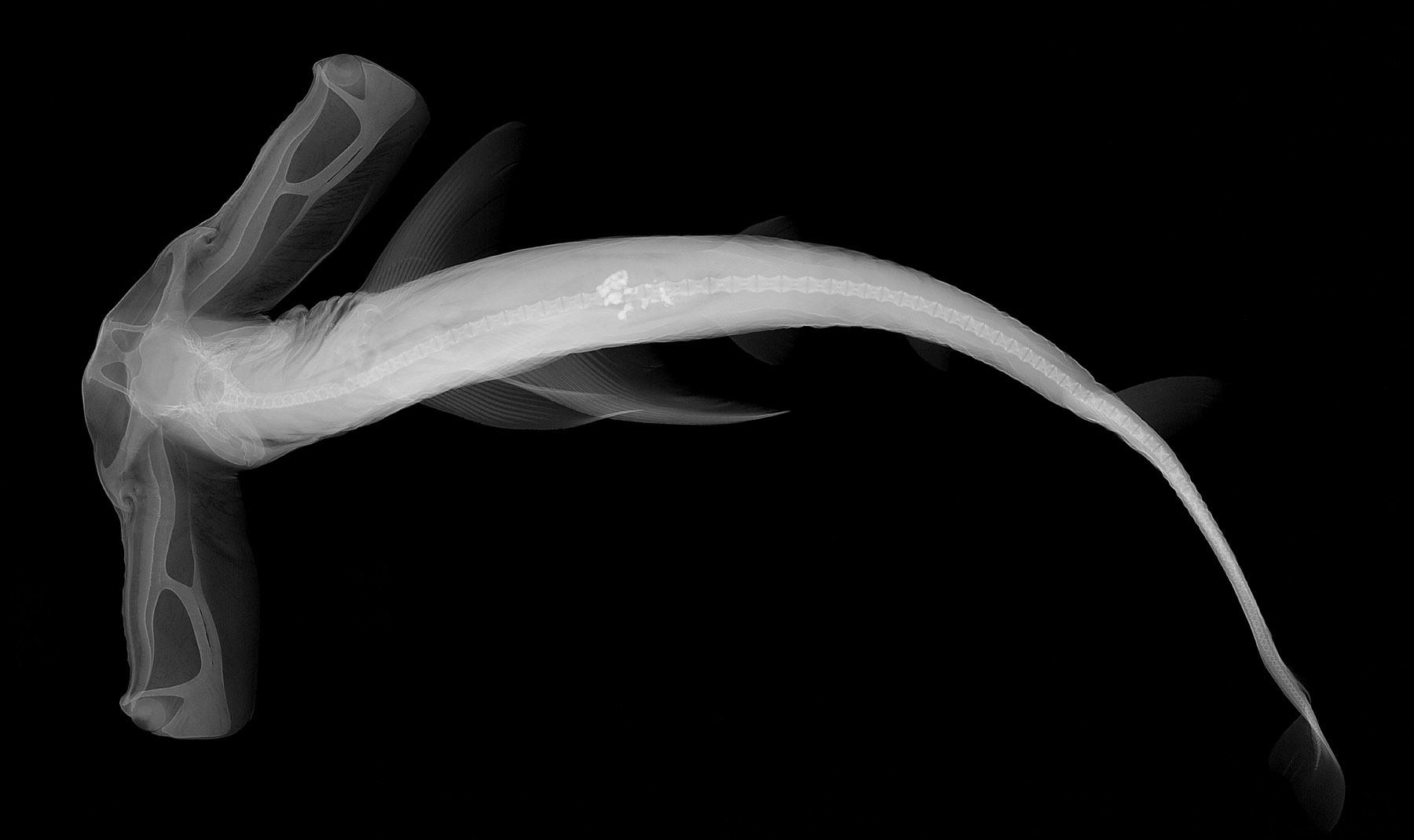 Image of Slender Hammerhead