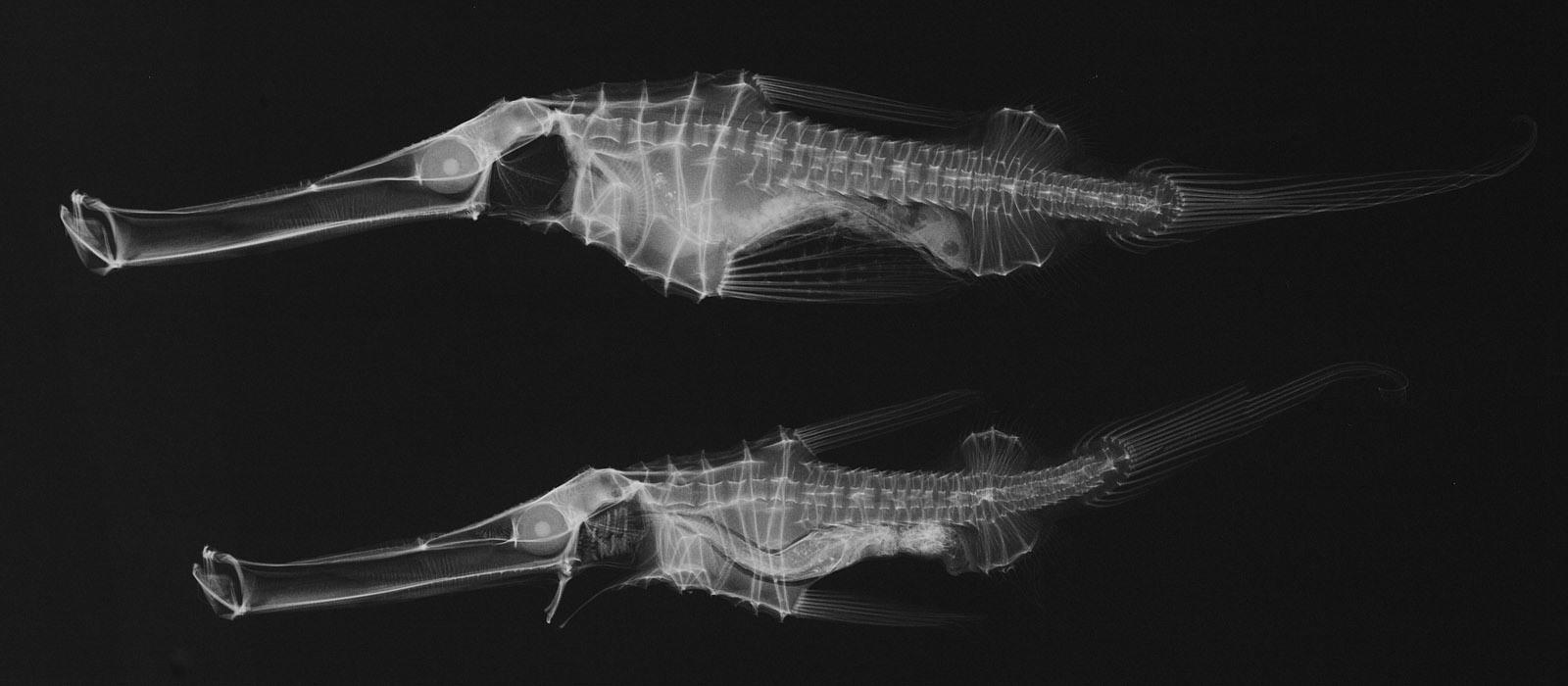 Image of <i>Solenostomus cyanopterus</i> Bleeker 1854