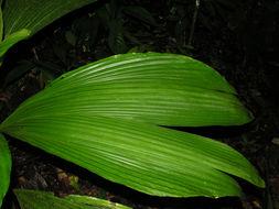 Image of <i>Asplundia albicarpa</i> Hammel
