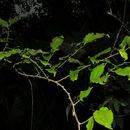 Image of iguana hackberry