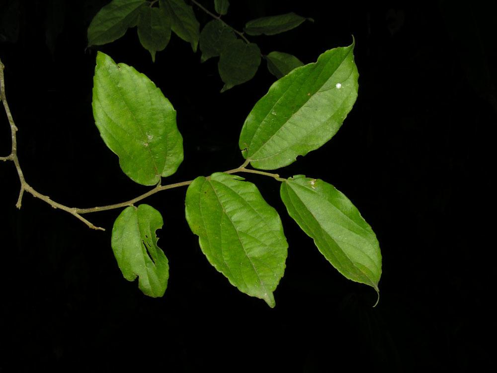 Sivun <i>Mertensia pubescens</i> (Roem. & Schult.) DC. kuva