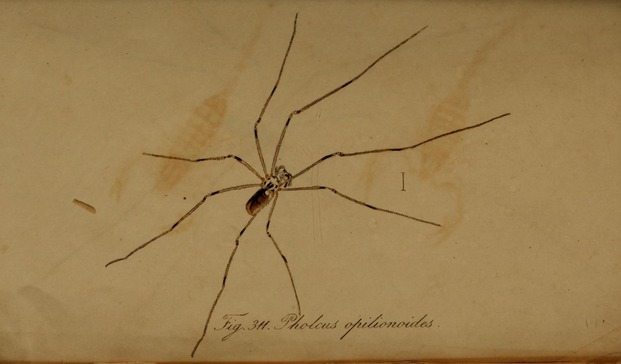 Image of <i>Pholcus opilionoides</i> (Schrank 1781)