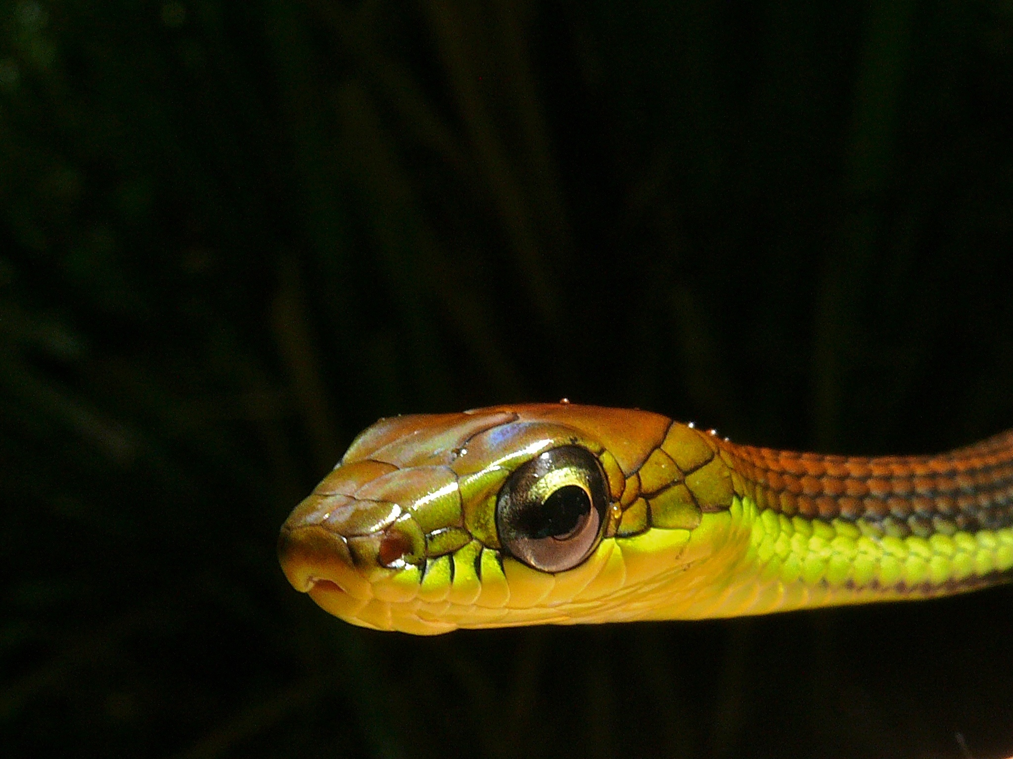 Image of Beautiful Bronzeback Tree Snake