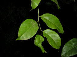 Image of <i>Heisteria scandens</i> Ducke