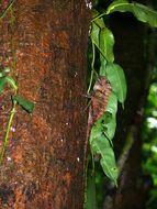 Image of Borneo Anglehead Lizard