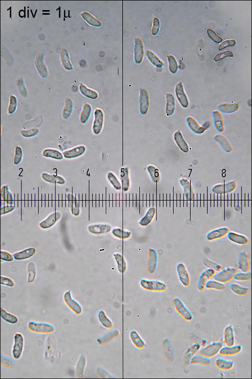 Image of <i>Trametes ochracea</i> (Pers.) Gilb. & Ryvarden 1987