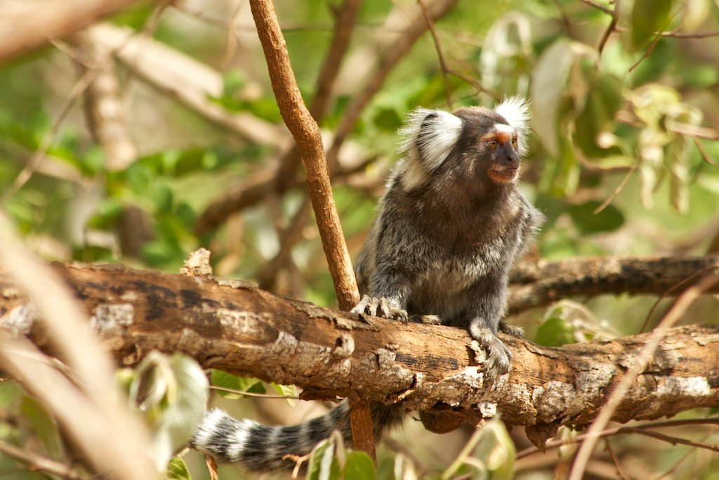Image of Common Marmoset