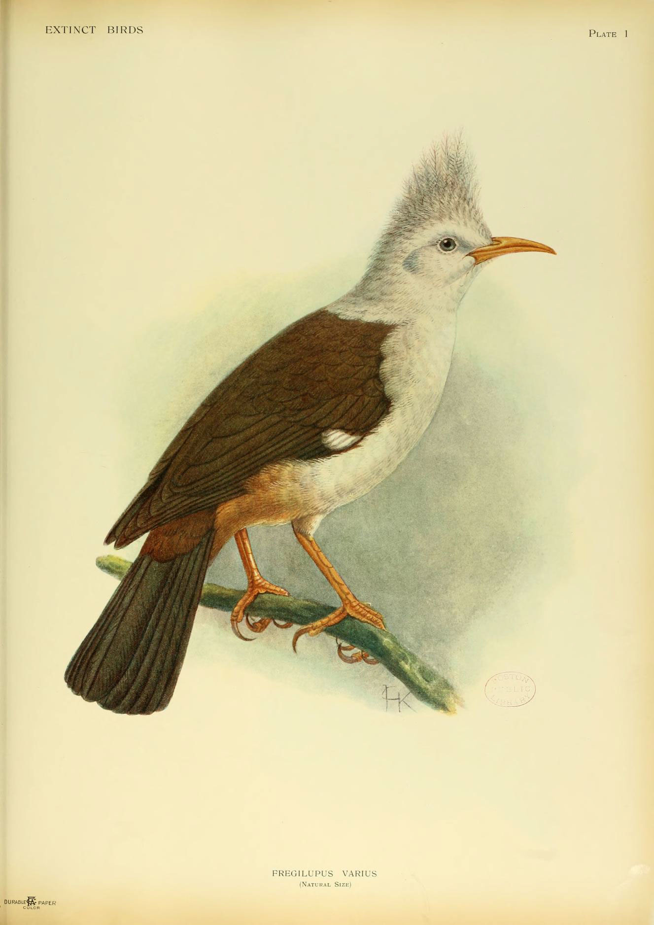 Image of Hoopoe Starling