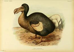Image of Dodo