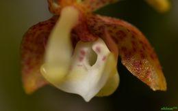 Image of <i>Grosourdya appendiculata</i> (Blume) Rchb. fil.