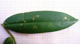 Image of <i>Marcgravia coriacea</i> Vahl