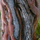 Image of Texas madrone
