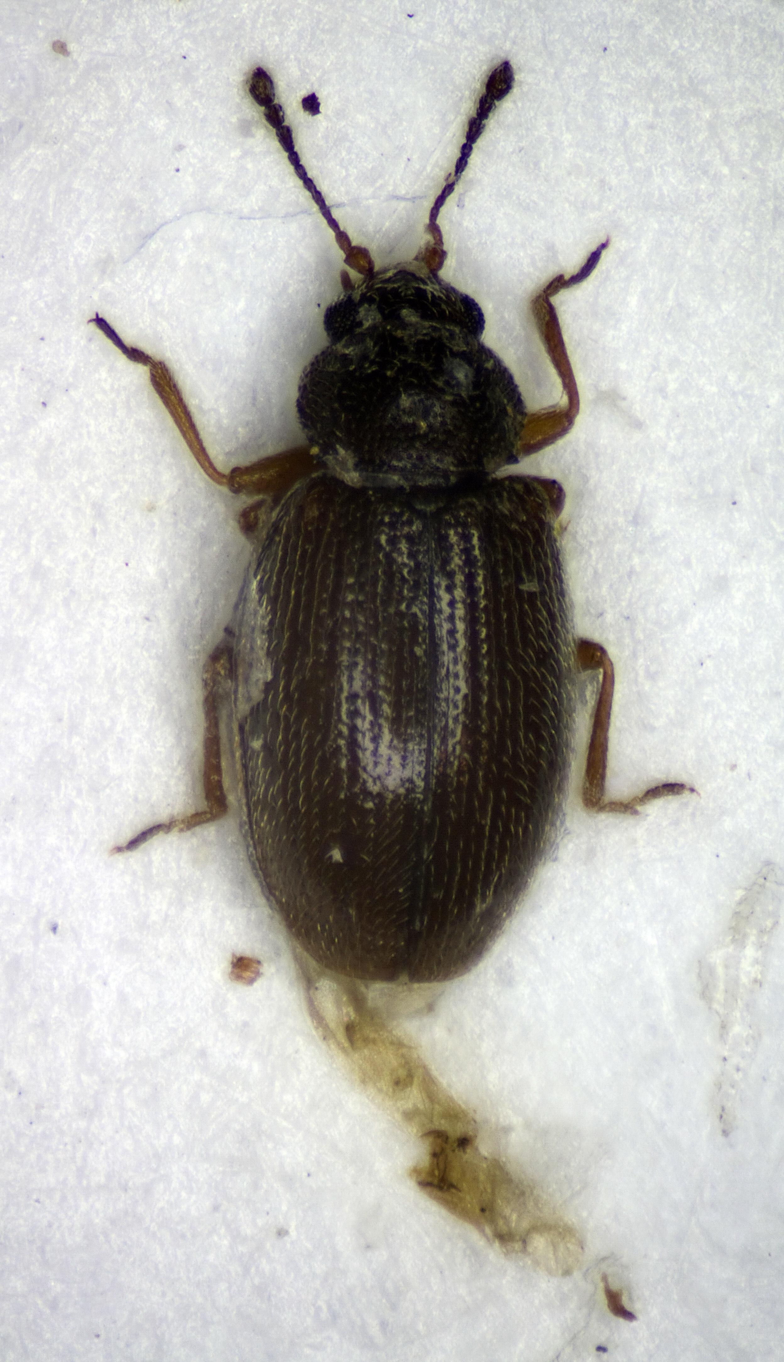 Image of <i>Corticaria punctata</i> Dajoz 1970