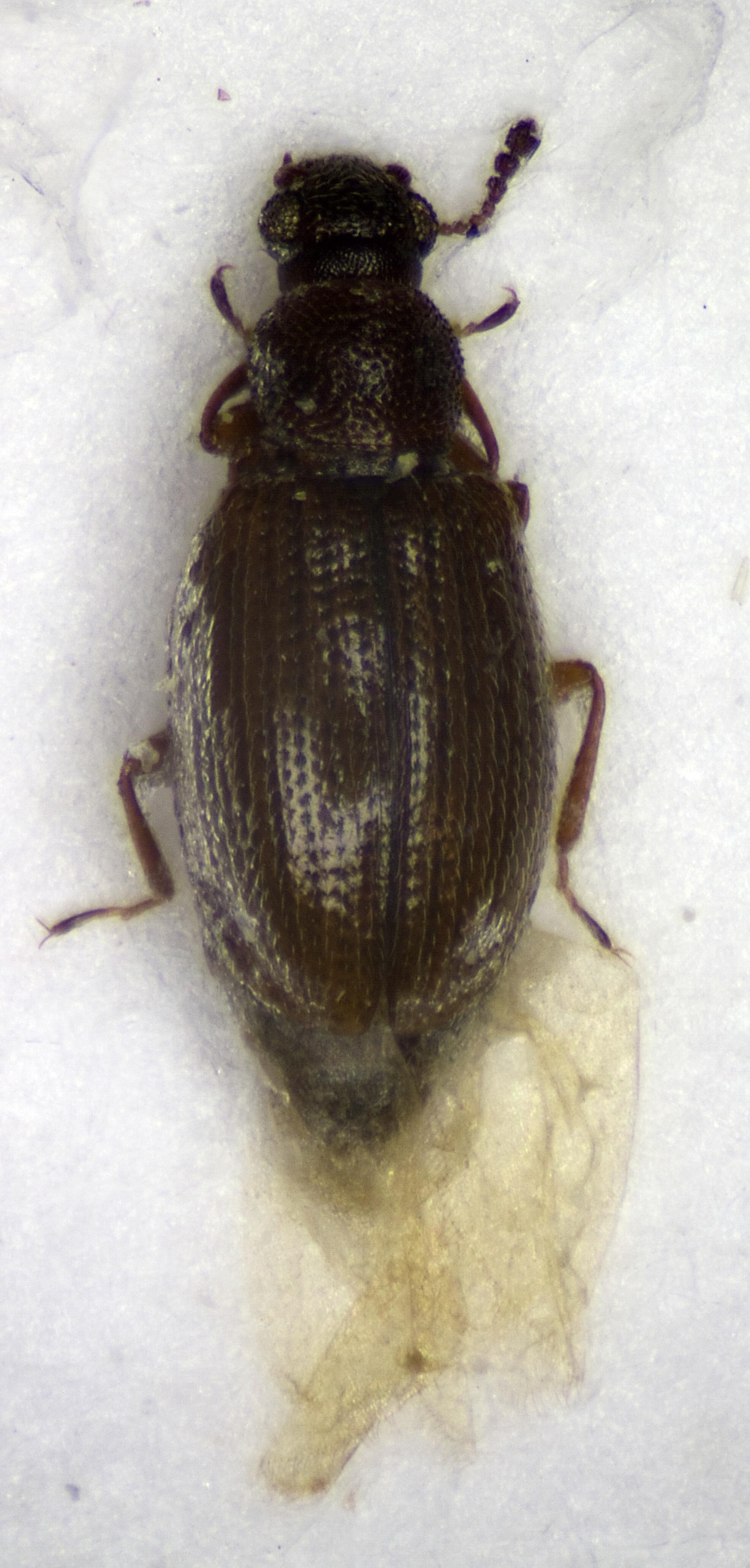 Image of <i>Corticaria gibbosa</i>