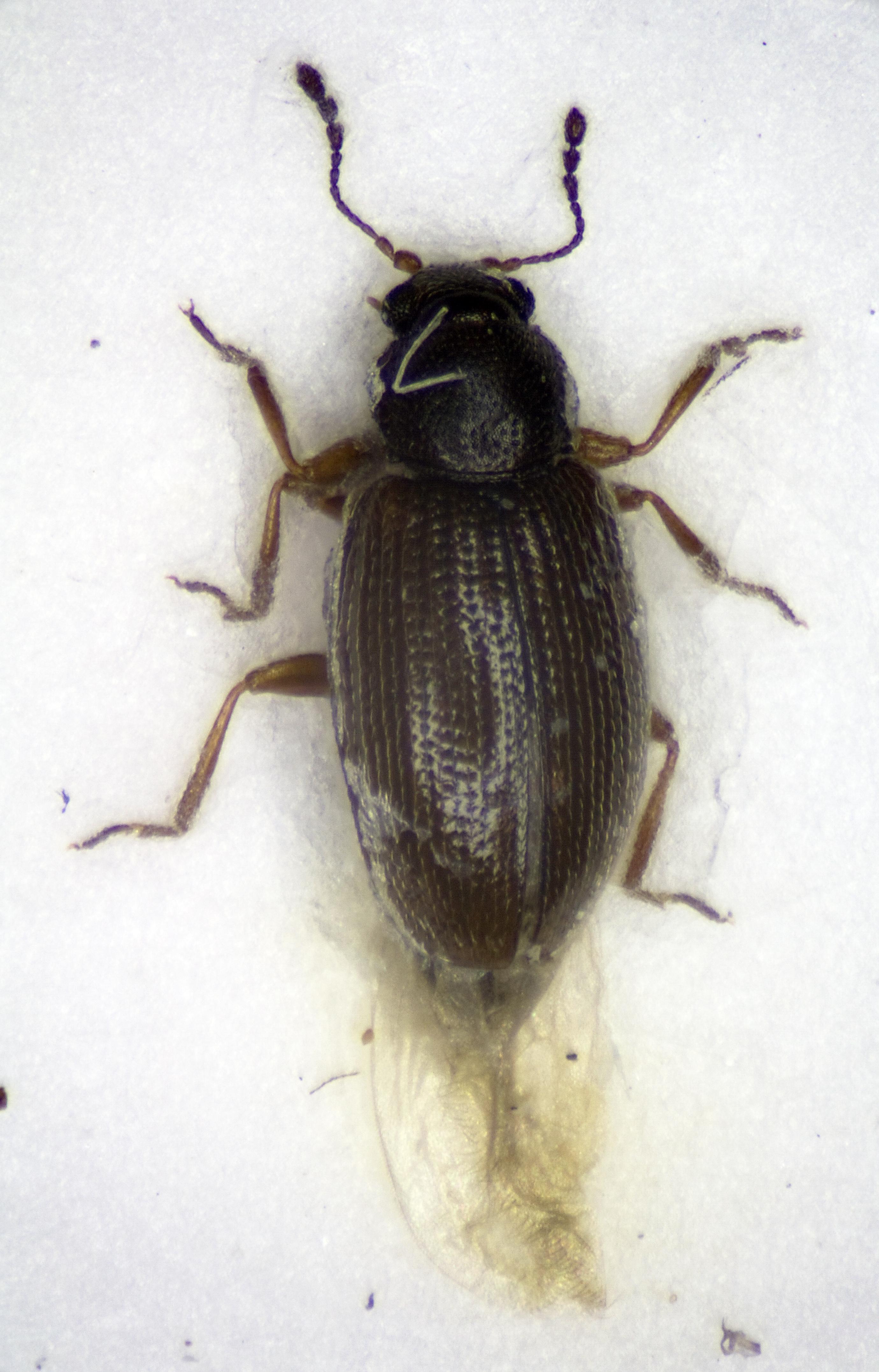 Image of <i>Corticaria fuscula</i>